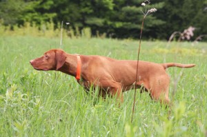 Vizsla Training Clinic